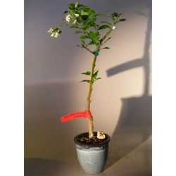 Rio Red Grapefruit Bonsai Tree