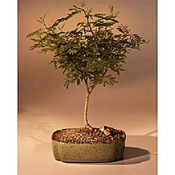 Flowering Sweet Acacia Bonsai Tree