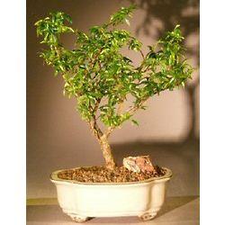 Dwarf Flowering Water Jasmine Bonsai Tree