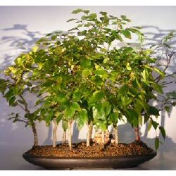 Rock Hornbeam Bonsai Tree