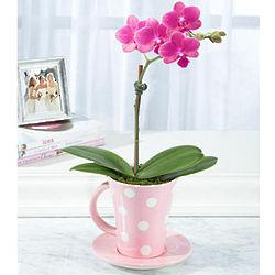 Tea Party Teacup Orchid
