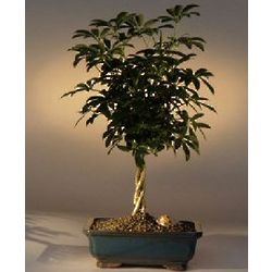 Hawaiian Umbrella Braided Twist Bonsai Tree