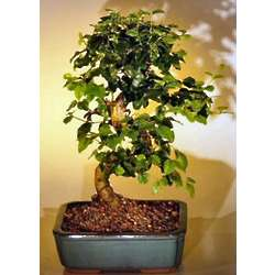 Flowering Ligustrum Bonsai Tree Medium