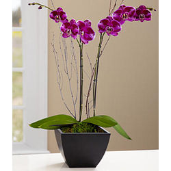 Potted Double Stem Novelty Purple Orchid