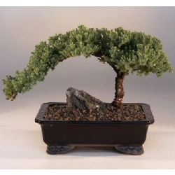 Juniper Bonsai Tree Large