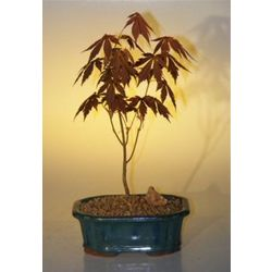 Japanese Red Maple Bonsai Tree - Small