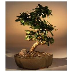 Flowering Fukien Tea Bonsai Tree