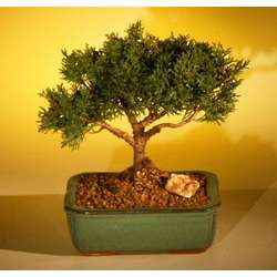 Shimpaku Large Bonsai Tree