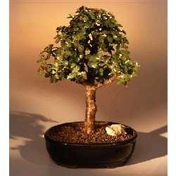 Large Baby Jade Bonsai Tree