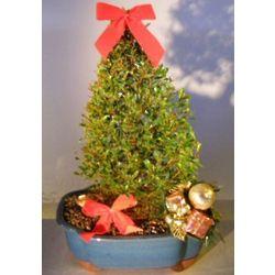 Christmas Tree Style Flowering Brush Cherry Bonsai Tree