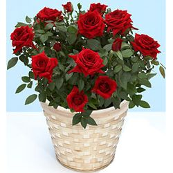 Passionate Potted Mini Red Roses