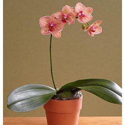 Single Stem Kaleidoscope Orchid