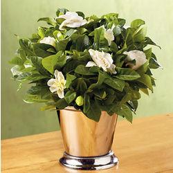 Gardenia Plant in Chrome Julip Cup