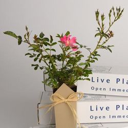 Pink Drift Rose Sympathy Plant