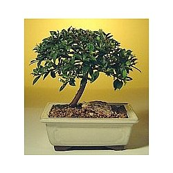Brush Cherry Bonsai - Small