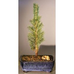 Medium Colorado Blue Spruce Bonsai Tree