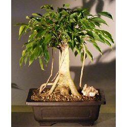 Banyan Style Oriental Ficus Bonsai Tree