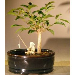 Ficus Oriental Bonsai Tree with Water Land Container