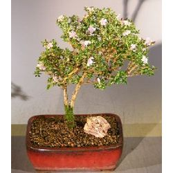 Flowering Pink Serissa Bonsai