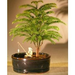 Norfolk Island Pine Bonsai Tree with Land Water Container