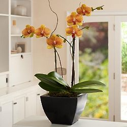 Potted Double Stem Kaleidoscope Orchid