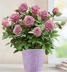 Lavish Lavender Rose Plant in Ceramic Planter