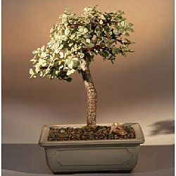 Baby Jade Bonsai Tree - Variegated
