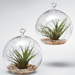 Glass Garden Globe and Air Plant