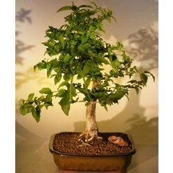 Extra Large Flowering Water Jasmine Bonsai Tree