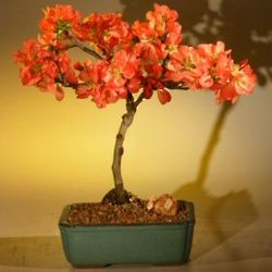 Super Red Japanese Flowering Quince Bonsai Tree