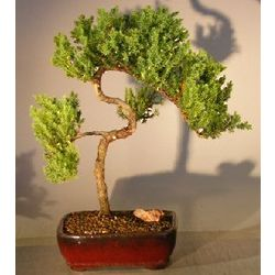 12 Year Old Trained Juniper Bonsai Tree