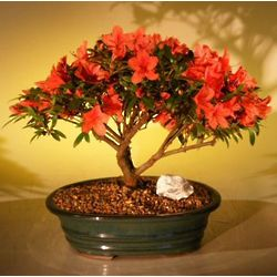 Flowering Red Azalea Bonsai Tree