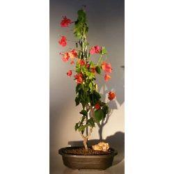 Flowering Vine Upright Style Bougainvillea Bonsai