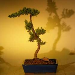 12 Inch Juniper Bonsai Tree