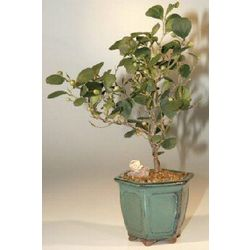 Mistletoe Fig Bonsai