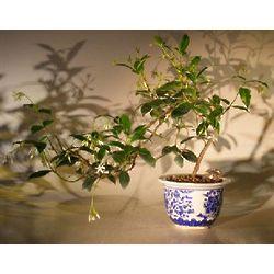 Cascade Style Flowering White Jasmine Bonsai