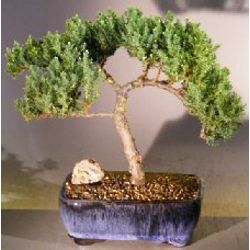 Trained 14 Year Old Juniper Bonsai Tree