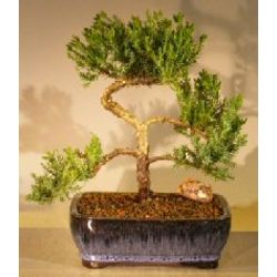 14 Year Old Trained Juniper Bonsai Tree