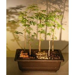 Horseflesh Mahogany Forest Group Bonsai