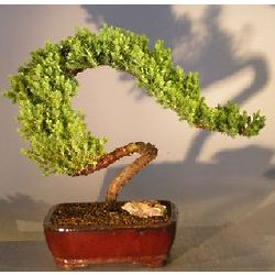 14 Inch Tall Trained Juniper Bonsai Tree
