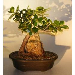 Green Emerald Ficus Bonsai Tree Root Over Rock