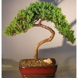 Trained Dwarf Juniper Bonsai Tree
