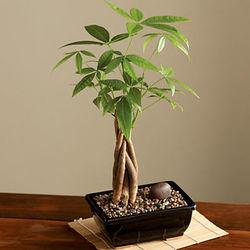 New Money Tree