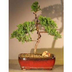 Trained Juniper Bonsai Tree