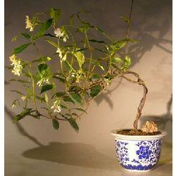 Cascading Flowering White Jasmine Vine