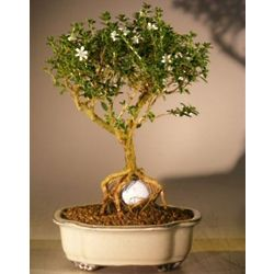Flowering Mount Fuji Serissa with Golf Ball