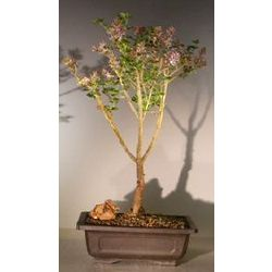 Dwarf Korean Lilac Bonsai Tree