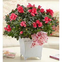 Precious Pink Azalea Plant