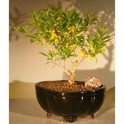 Flowering Dwarf Forsythia Bonsai Tree