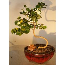 Flowering Dwarf Plum Bonsai Tree with a Curved Trunk
